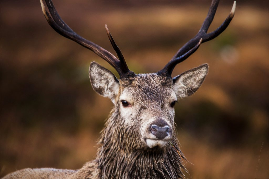 Stag head, close up